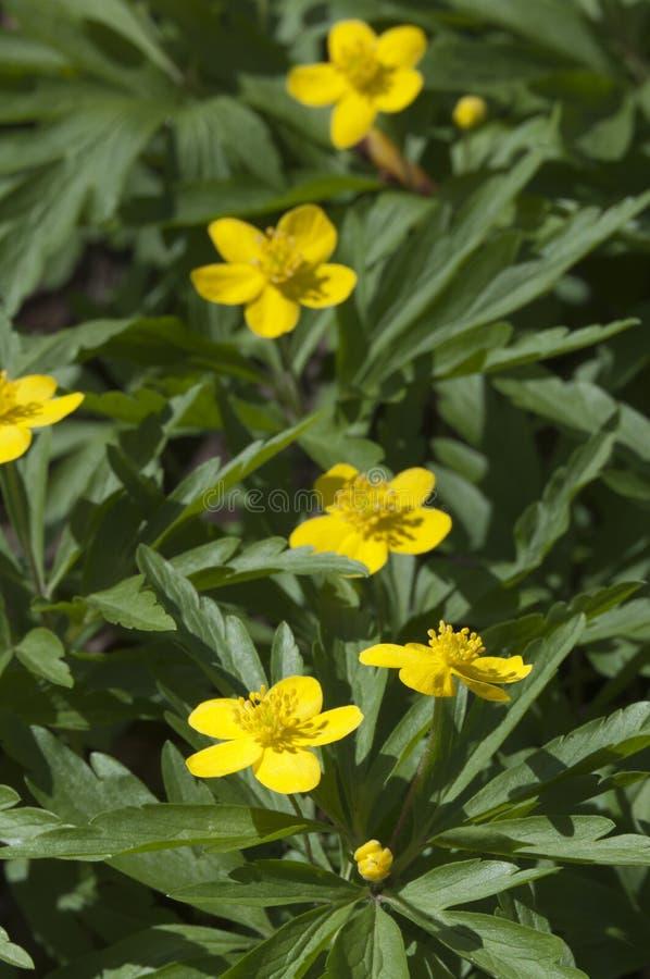 Anemoon wilde bloemen royalty-vrije stock afbeeldingen