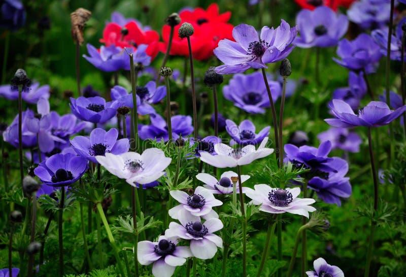 Anemoonbloemen stock afbeeldingen