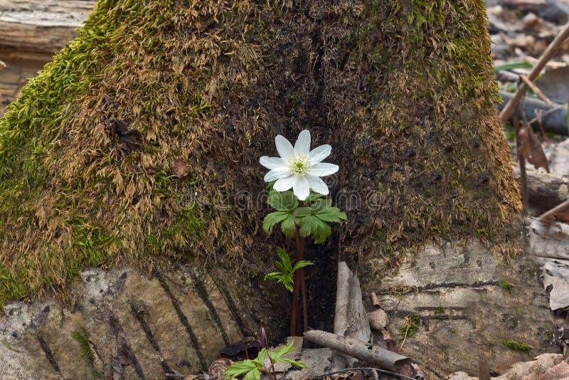 Anemoonnemorosa is een de vroeg-lente bloeiende installatie in de soort Anemoon in de familie Ranunculaceae, inwoner aan Europa D royalty-vrije stock foto