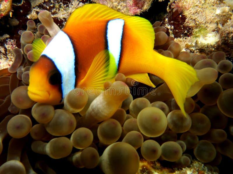 Anemoonvissen stock foto's