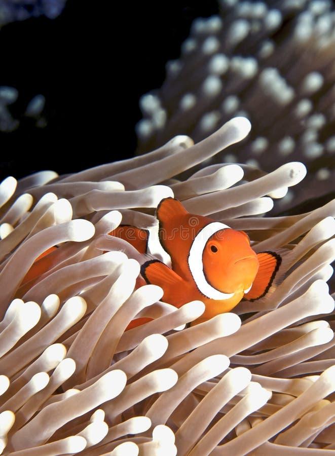 anenomefish стоковые изображения