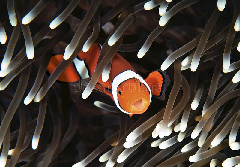 Anenomefish imagenes de archivo