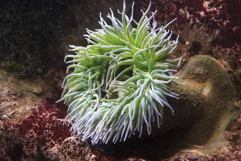 Anenomes do mar fotos de stock
