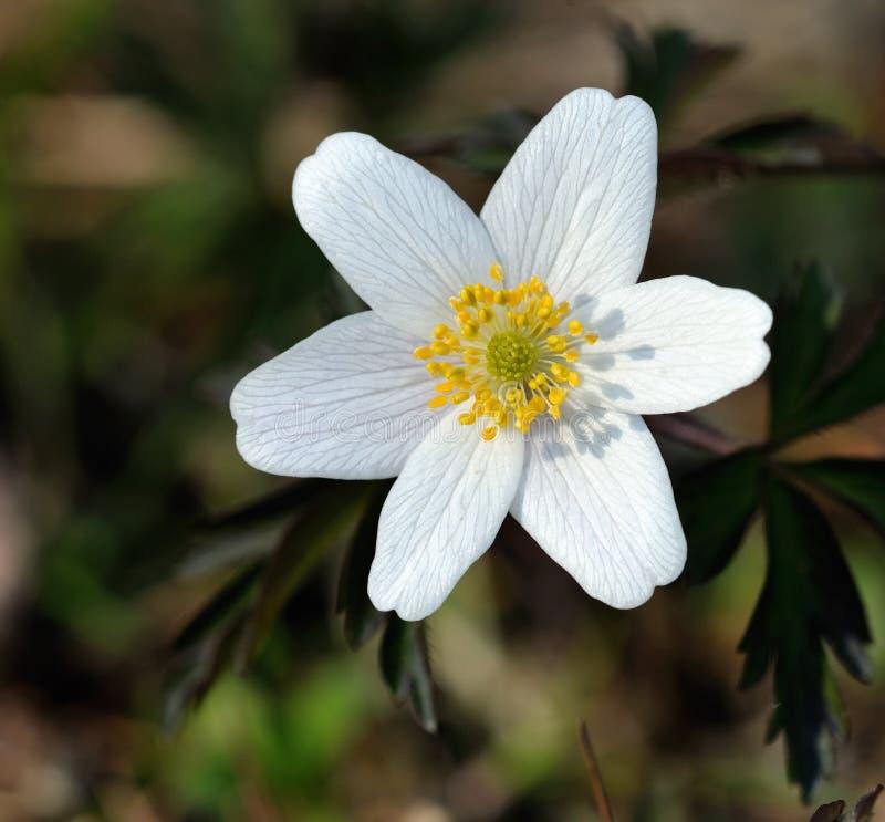 Aneomone de madera (nemorosa de la anémona) o windflower. imagen de archivo libre de regalías