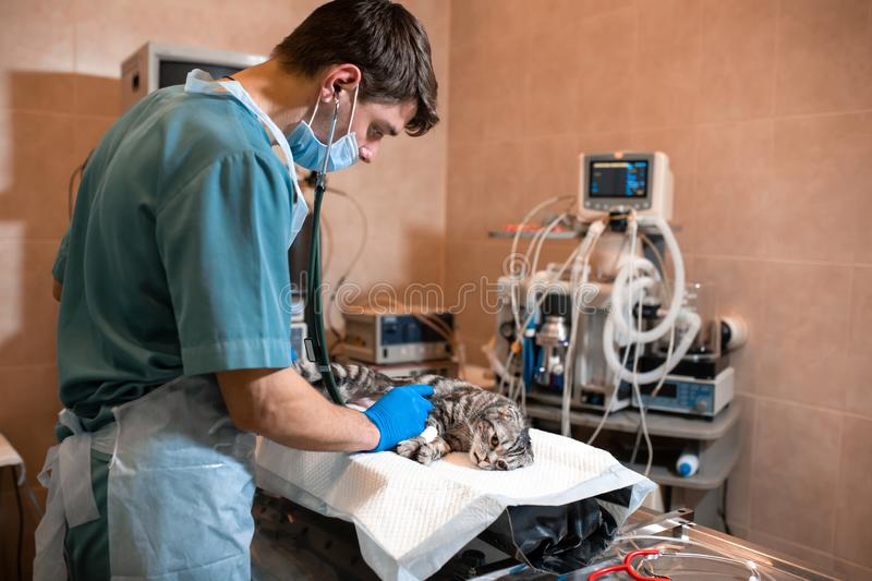 Anesthesiologist prepares a cat for surgery. Checks if anesthesia worked . Pet surgery. Pet surgery.  royalty free stock photos