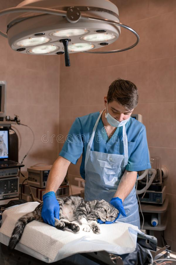 Anesthesiologist prepares a cat for surgery. Checks if anesthesia worked . Pet surgery. Pet surgery royalty free stock photo
