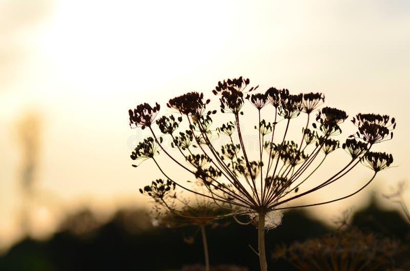 Aneth de parasol avec des graines sur le fond de coucher du soleil photos libres de droits