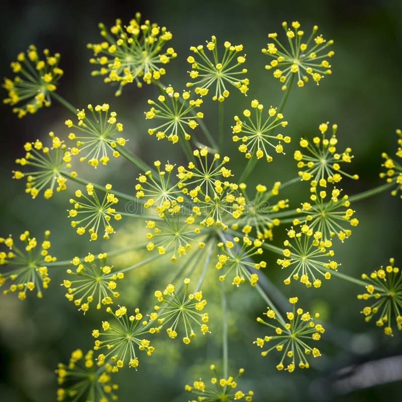 Aneth fleurissant photo libre de droits