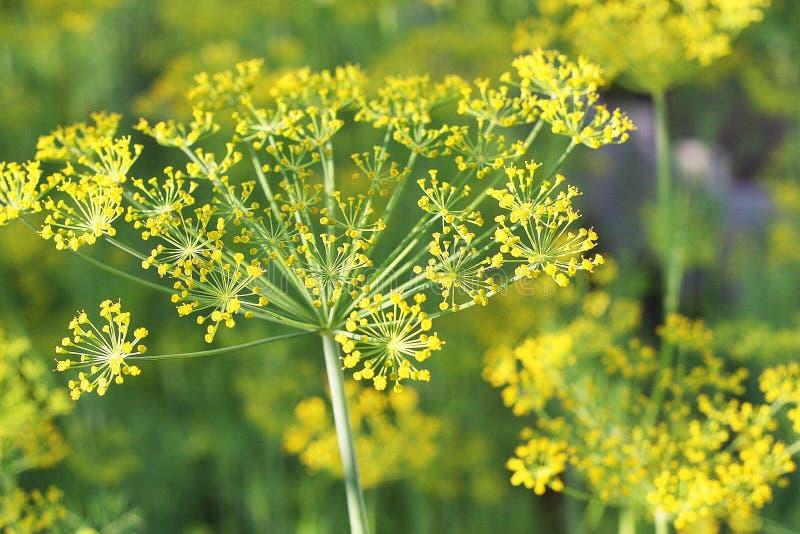 Aneth fleurissant dans le jardin image libre de droits