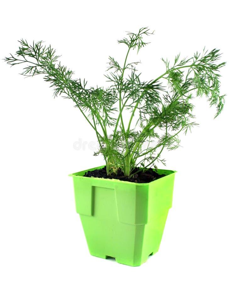 Aneth frais d'herbes images libres de droits