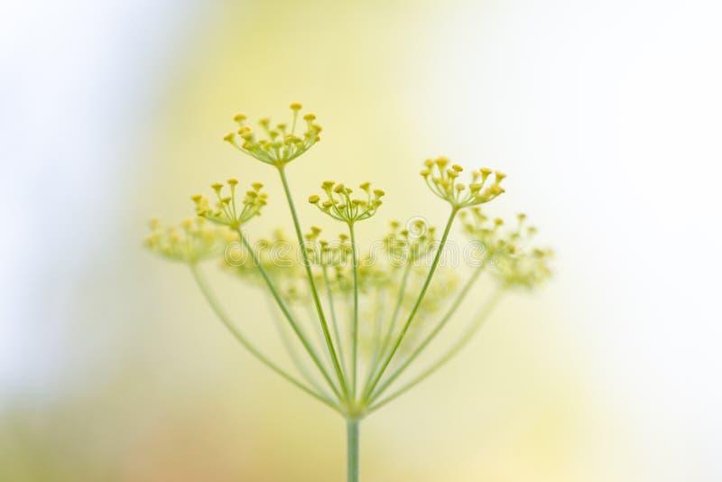 Anethum graveolens installatie met bloesems, close-up van dille in de tuin stock afbeeldingen