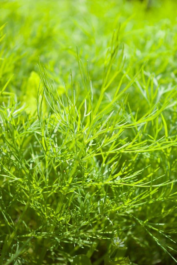 Aneto fresco herb.close acima fotos de stock