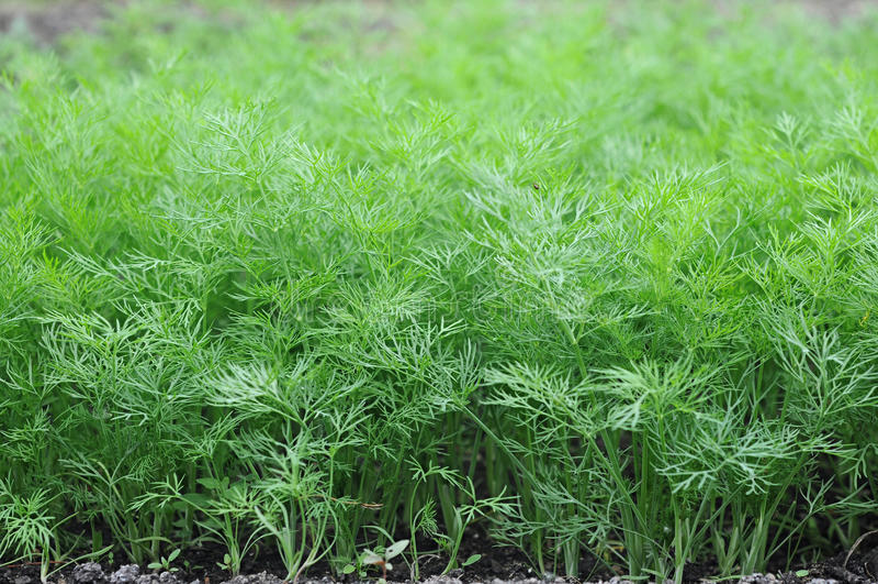 Aneto organicamente coltivato nel terreno. fotografia stock libera da diritti