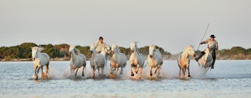 Anfallare och flock av vita Camargue hästar som kör till och med vatten royaltyfria bilder