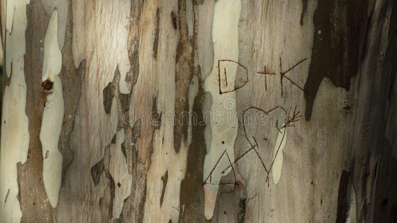 Anfangsliebhaber geschrieben in einen Baumstamm, Eukalyptusstamm stock abbildung