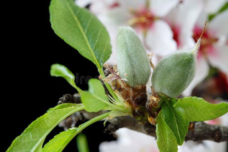 Anfangsstadium von den Mandeln, die auf einem Mandelbaumast lokalisiert wachsen lizenzfreie stockfotos