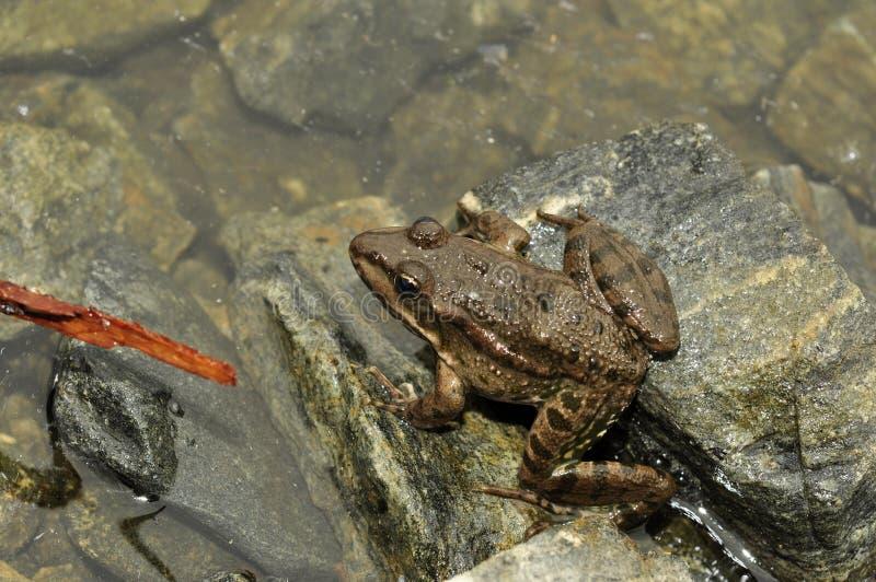 Anfibio animale, rana su una roccia fotografie stock libere da diritti