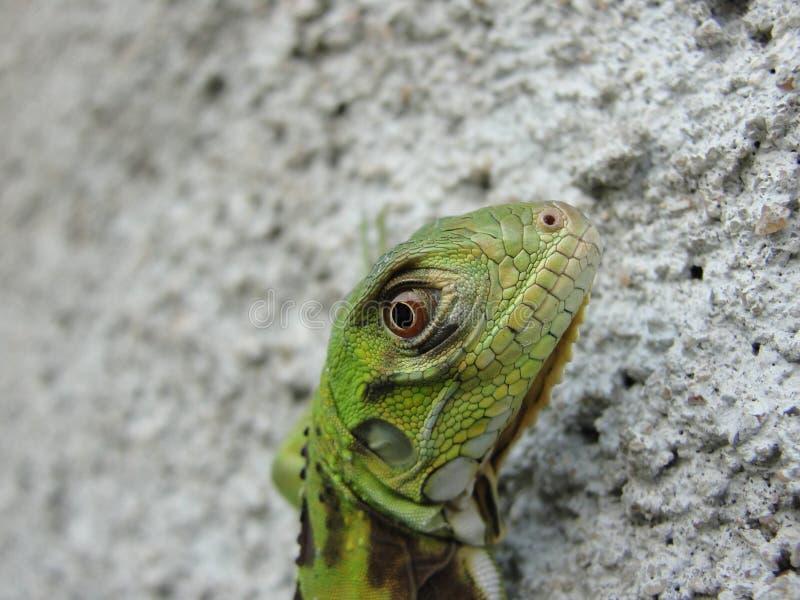 Anfibio animale variopinto del rettile verde che guarda alla macchina fotografica fotografia stock