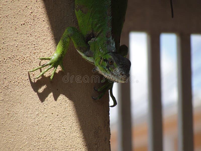 Anfibio animale variopinto del rettile verde che guarda alla macchina fotografica immagine stock libera da diritti