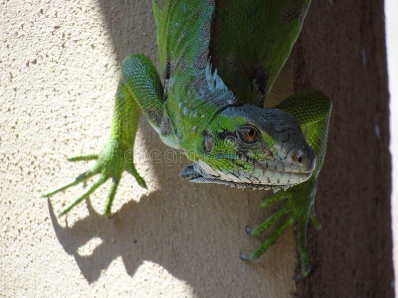 Anfibio animale variopinto del rettile verde che guarda alla macchina fotografica immagine stock