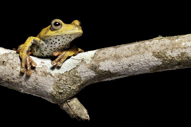 Anfibio de la rana de árbol en selva tropical tropical fotos de archivo
