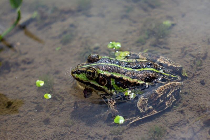 Anfibio en agua con algas de pato Rana verde en el estanque Foto de Rana esculenta Macro imagenes de archivo