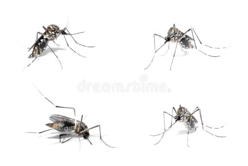 Anfitrião da dengue fotografia de stock royalty free