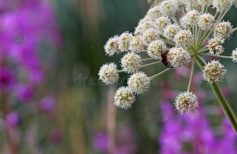 Angélica selvagem e uma vespa imagens de stock royalty free