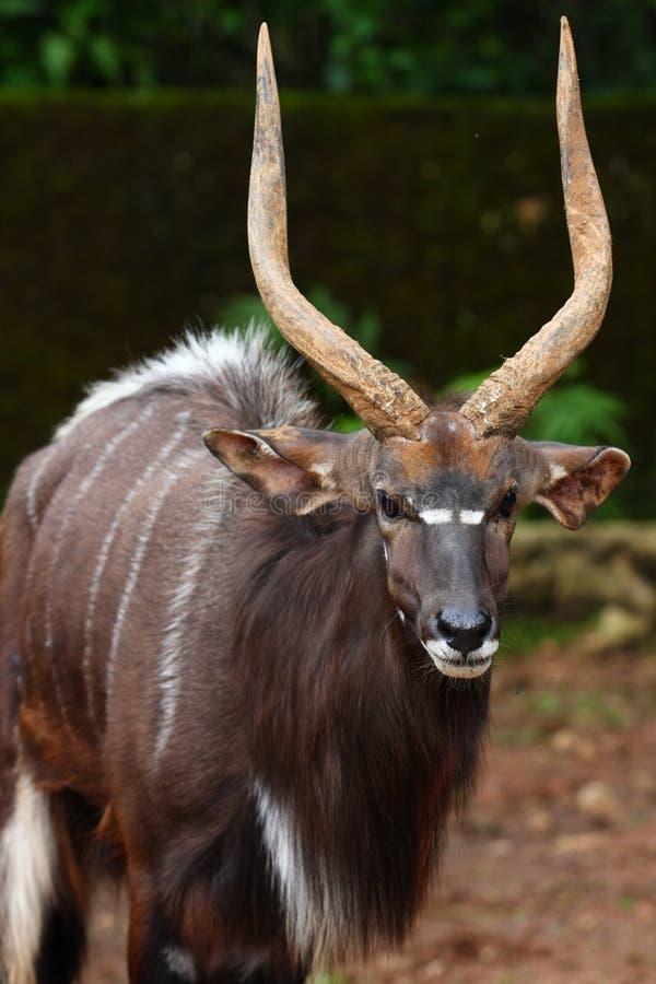 angasii林羚非洲羚羊类 库存照片
