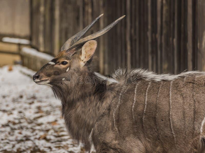 Angasii de Tragelaphus dans le ZOO Liberec dans le jour d'hiver photographie stock libre de droits