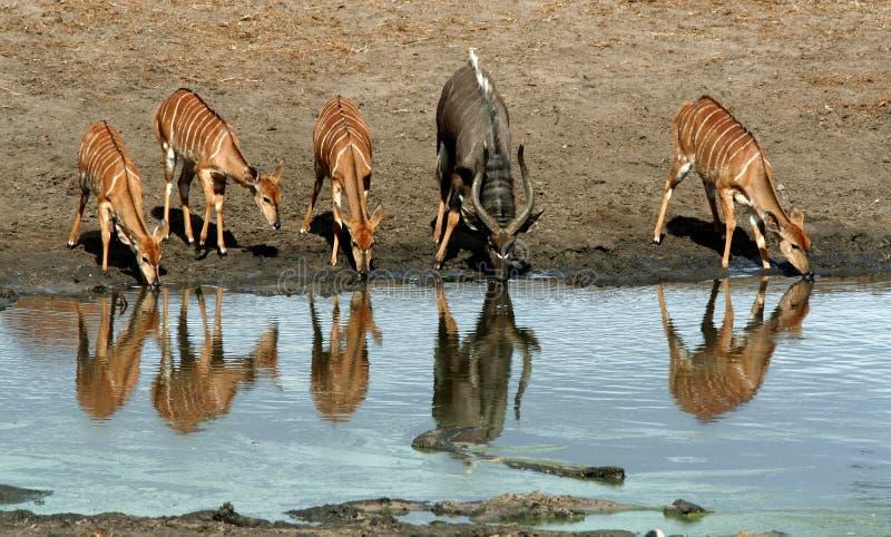 Angasii Nyalas/Tragelaphus на воде стоковое изображение rf