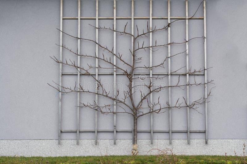 Angebaute Pflaumen als Spalierfrucht lizenzfreie stockbilder
