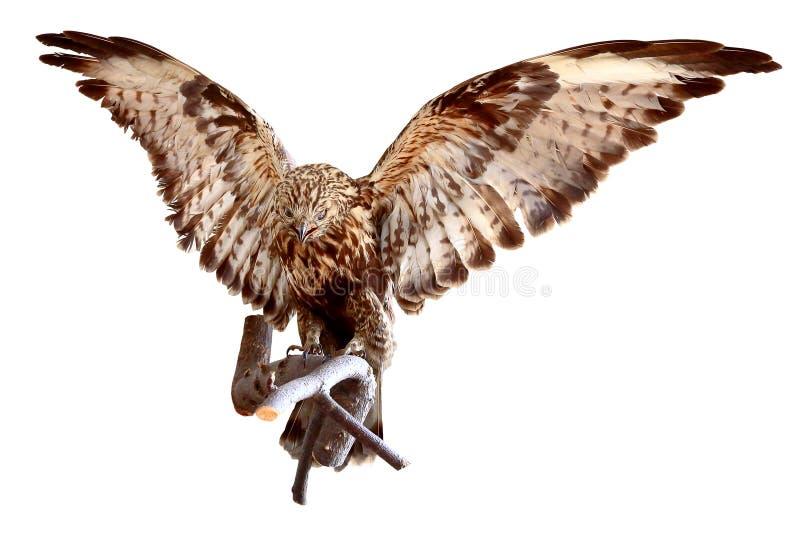 Angefüllter Adler stockbild