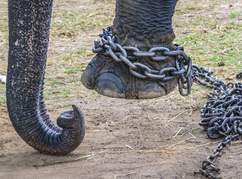 Angekettet - Elefantbeine gebunden mit einer Eisenkette lizenzfreie stockfotos