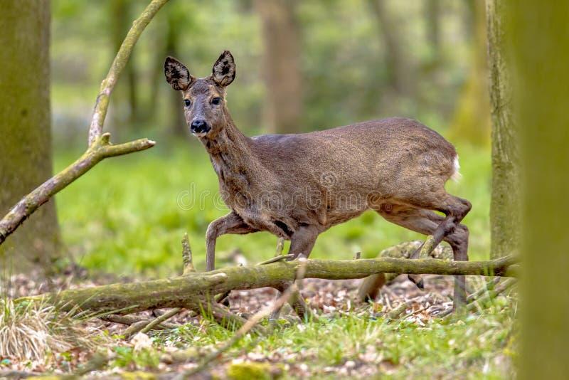 Angelägna Roe Deer royaltyfria bilder