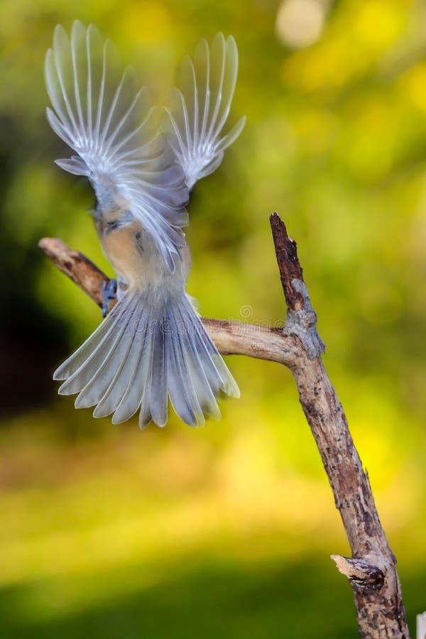 Angel Chickadee photo libre de droits