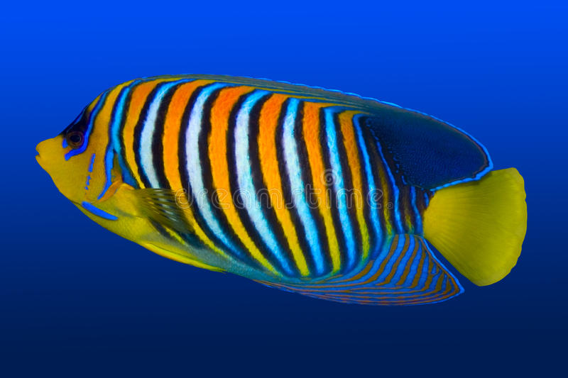 Angel fish. In tropical coral reef
