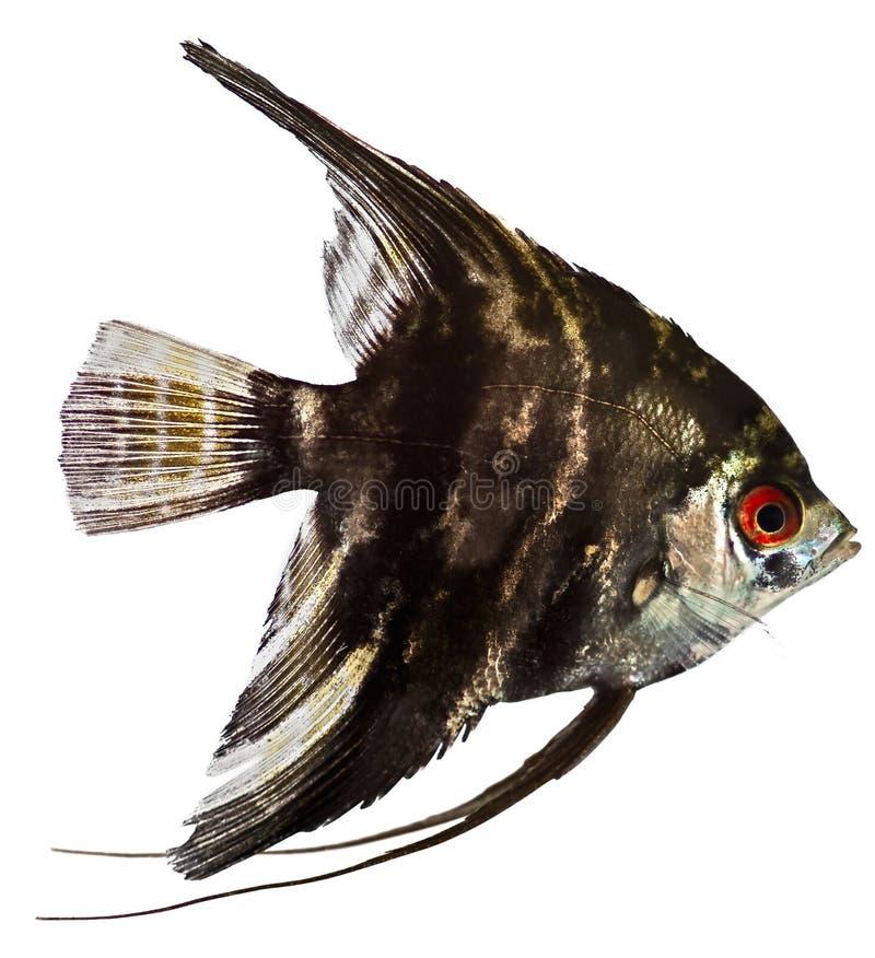 Angel Fish stock photo