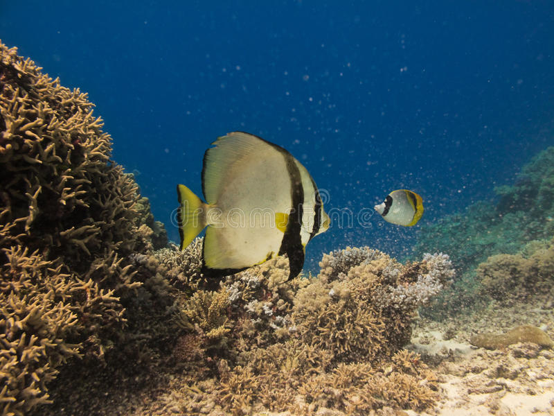 Angel Fish on Great Barrier Reef Australia. Two Angel Fish swimming on coral reef at Great Barrier Reef Australia royalty free stock photography