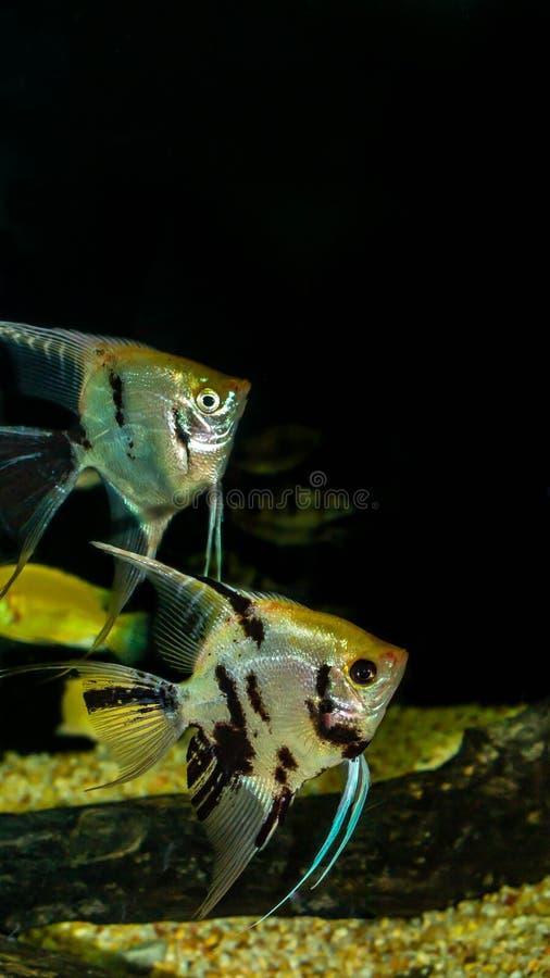Angel fish Pterophyllum sp stock photography