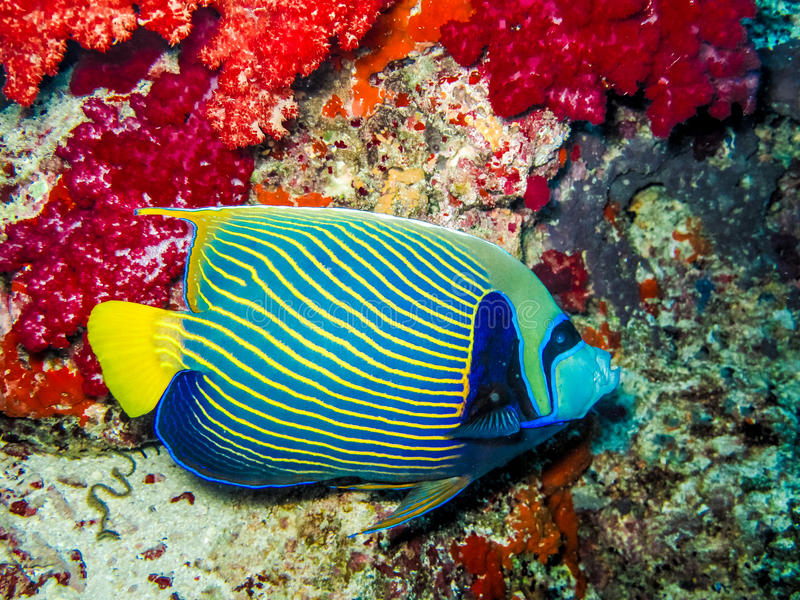 Angel fish on a reef stock photos