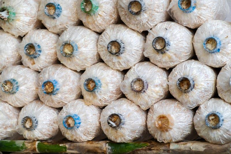 Angel Mushrooms Cultivation Fileiras de Angel Mushrooms fresco, foto de stock