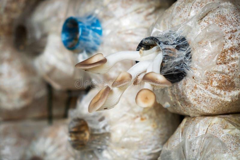 Angel Mushrooms Cultivation Fileiras de Angel Mushrooms fresco, fotografia de stock