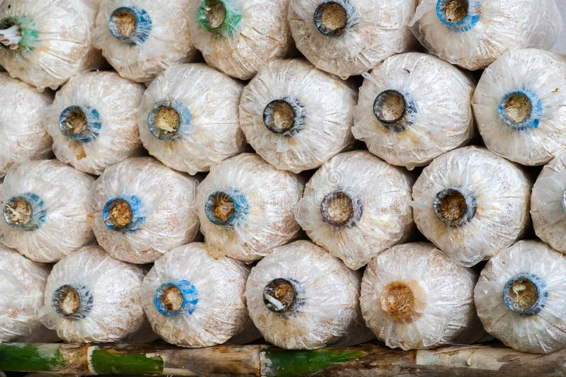 The Angel Mushrooms Cultivation. Rows of Fresh Angel Mushrooms, stock photo