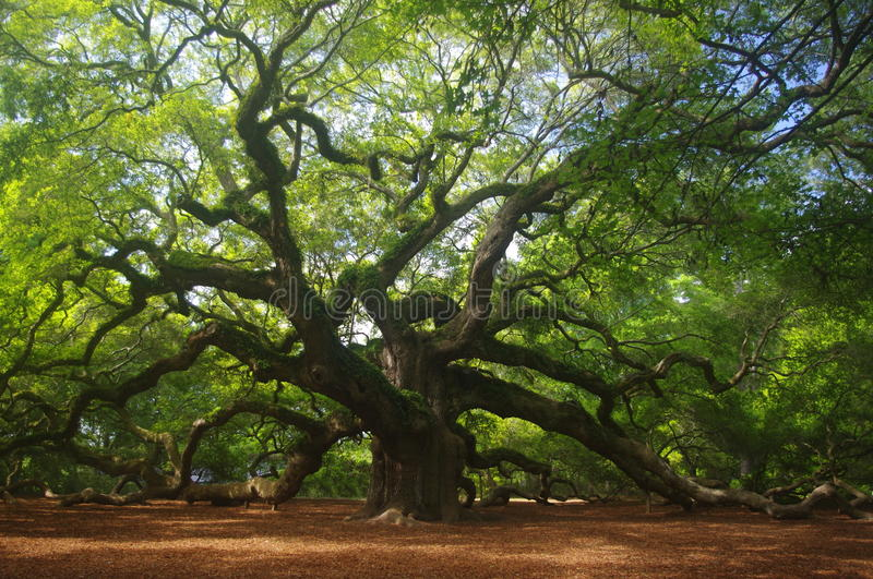 Angel Oak royaltyfria bilder
