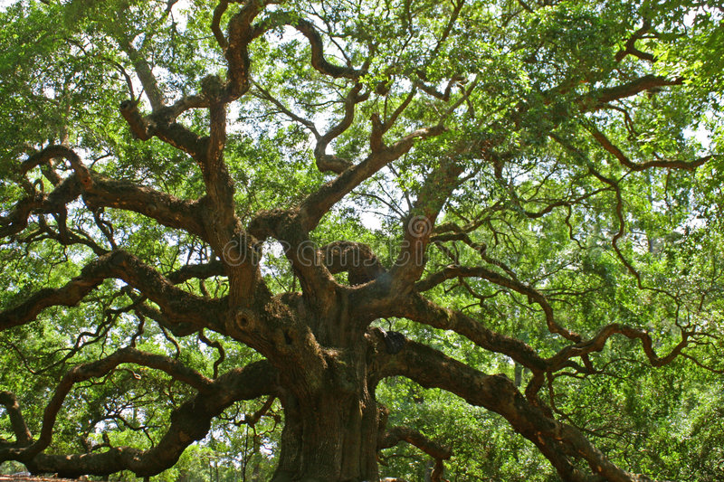 Angel Oak royalty free stock photo