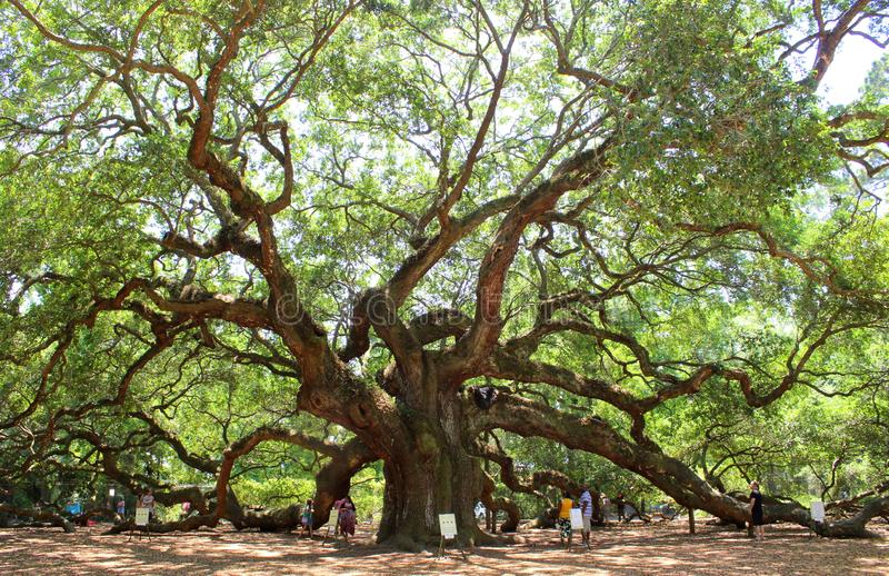 Angel Oak, Charleston stock foto's