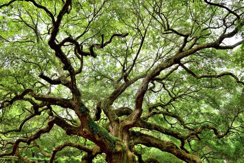 Angel Oak, Charleston, Sc royalty-vrije stock fotografie