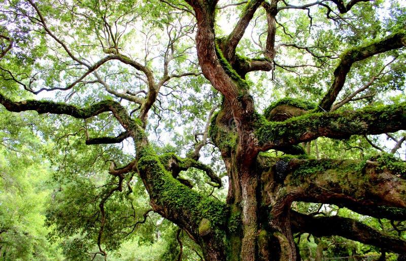 Angel Oak, isla de Johns, SC imagenes de archivo