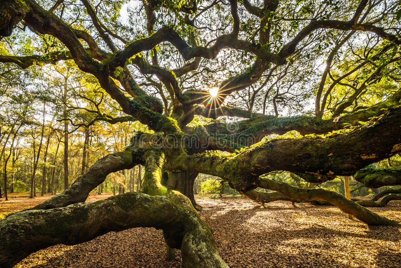Angel Oak Tree arkivfoton